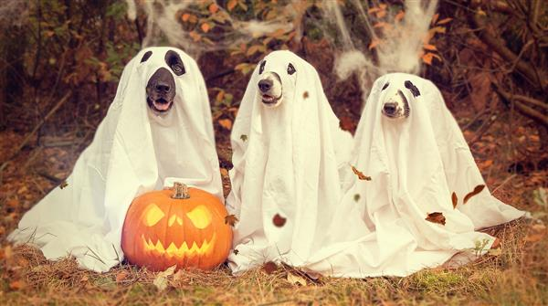 Halloween puppies in ghost costumes